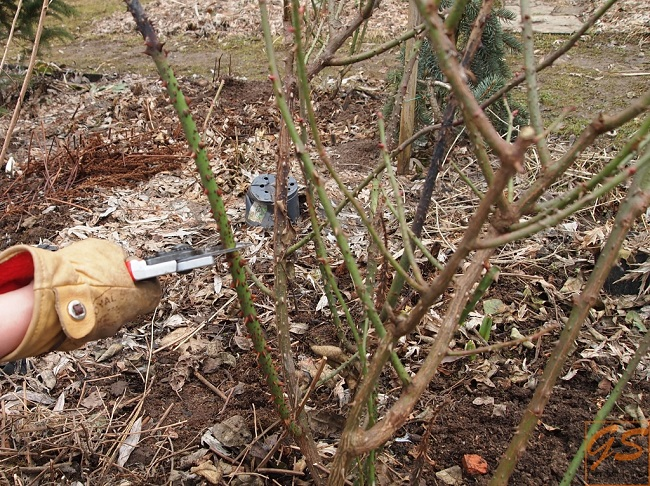 фото: Удаление невызревшего побега английской розы