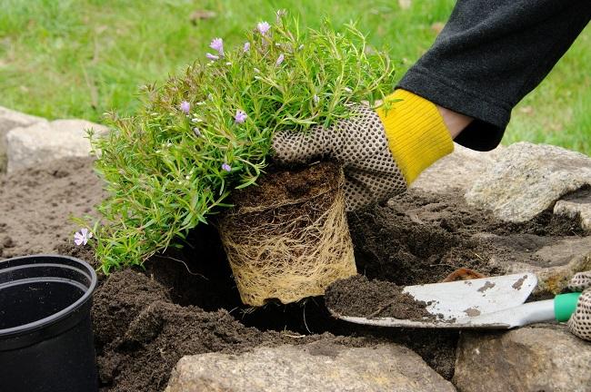 высадка растений для рокария