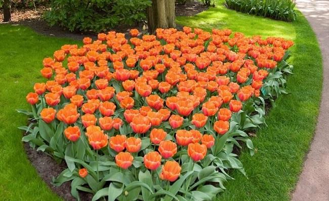 фото: моноклумба с тюльпанами