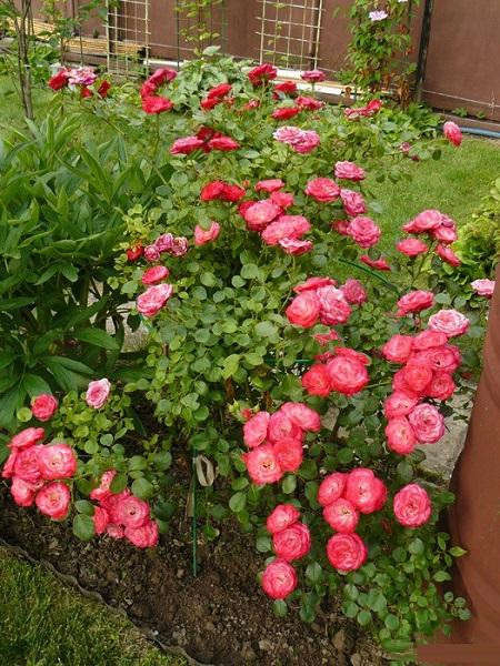 розы Пат де велюр