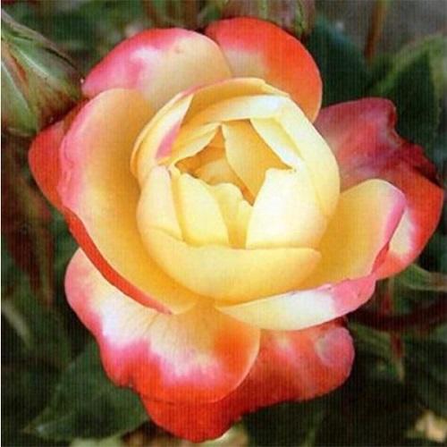 роза флорибунда new star