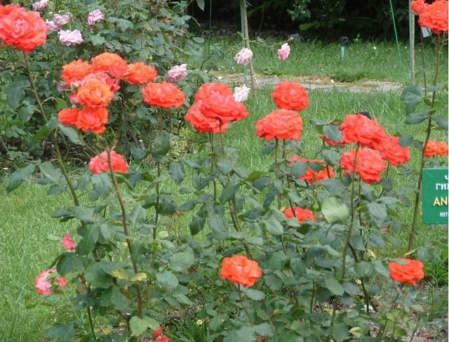 роза чайно - гибридная Анжелика