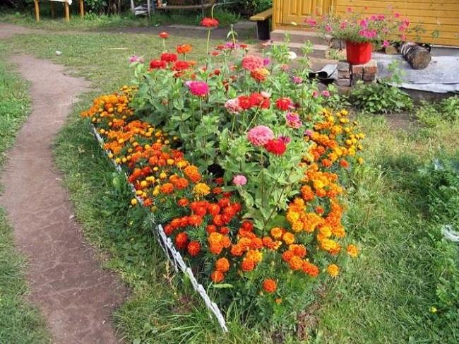 розы с бархатцами на даче