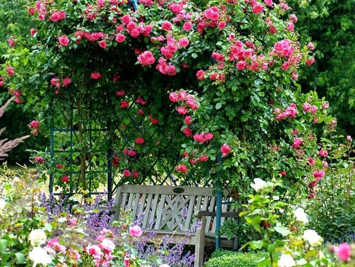 фото: Плетистые розы на беседке
