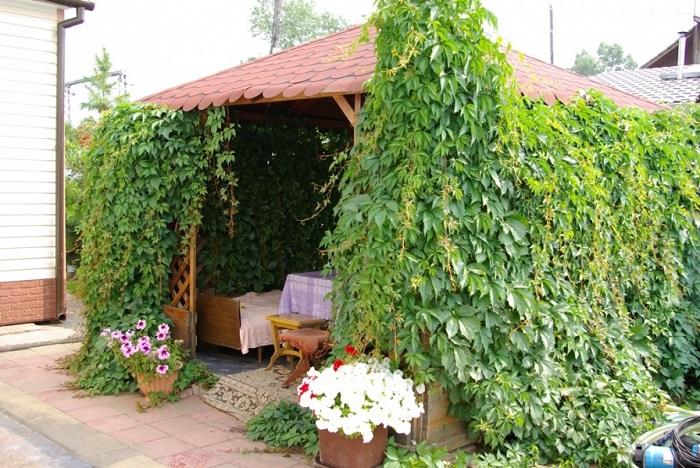 девичий виноград зеленый на беседке