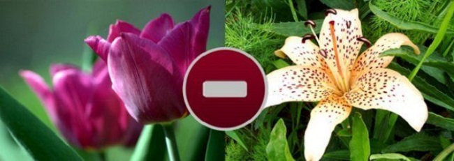 тюльпаны с лилиями не уживаются