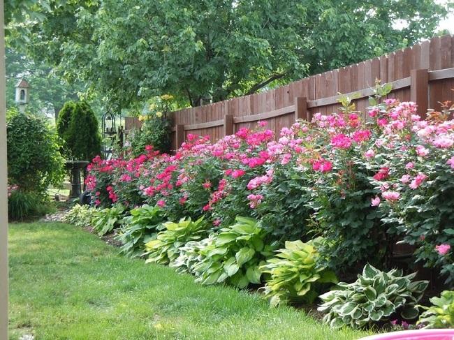 розы и хосты в миксбордере