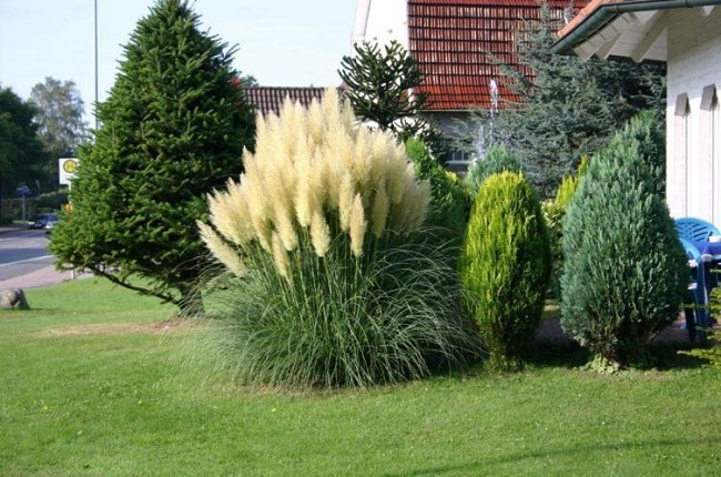 пампасная трава перед домом