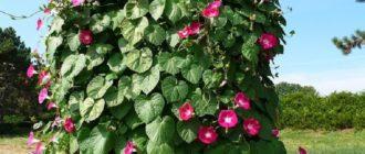 Лиана ипомея в саду