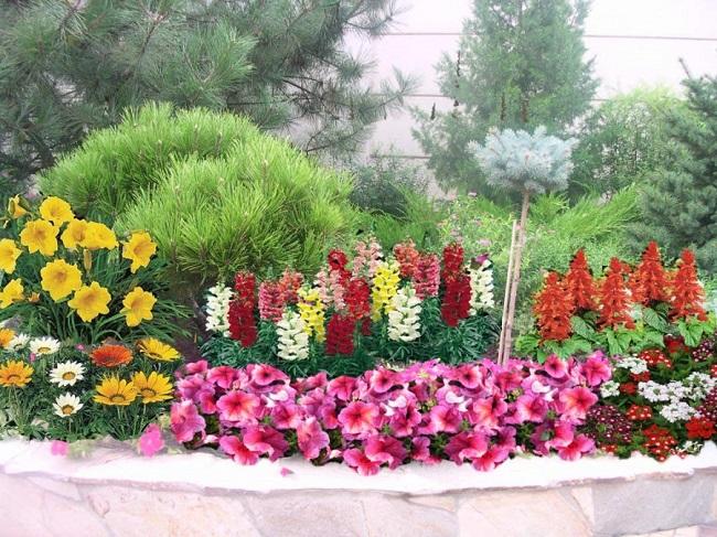 однолетние цветы с хвойными перед домом