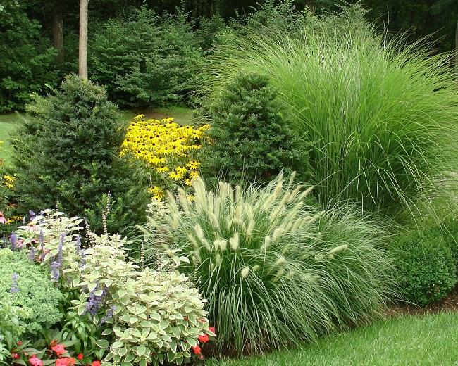 декоративная трава с хвойными в палисаднике