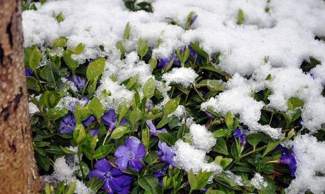 Барвинок голубой зимой под снегом