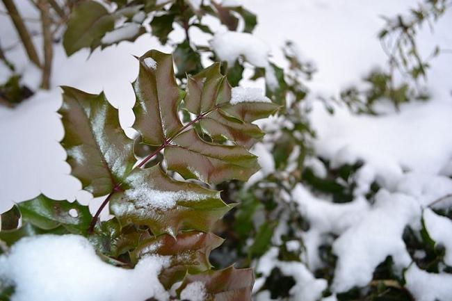 Магония падуболистная зимой под снегом