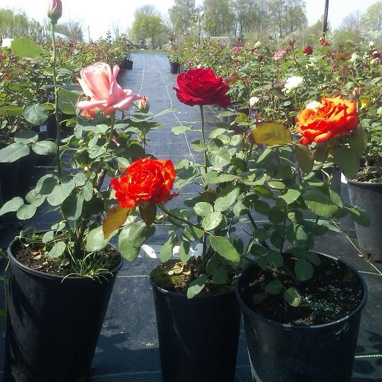 розы в контейнерах для посадки