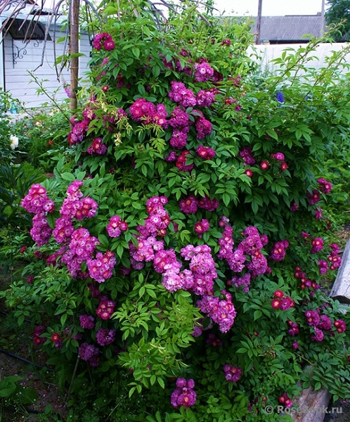 Перенниал блю плетистая роза
