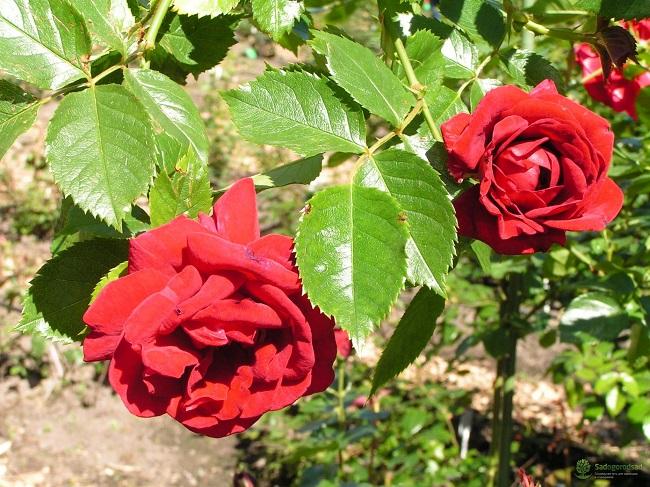 роза фонтейн