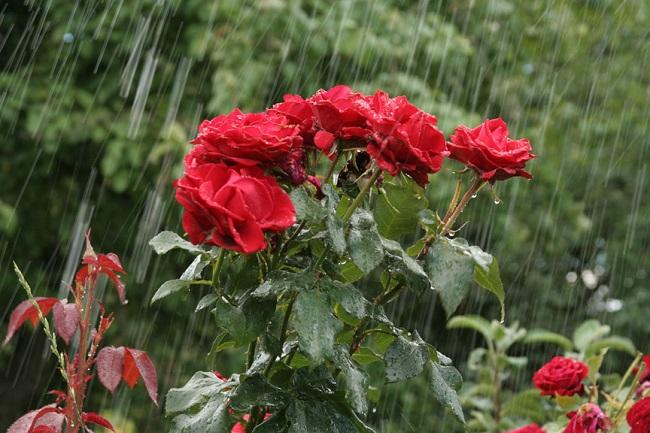 летний полив роз