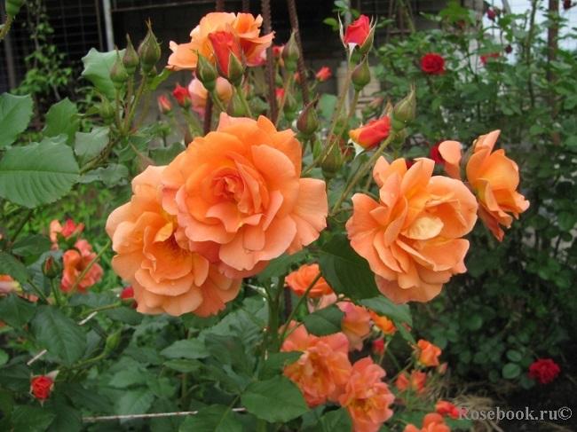 корвест плетистая роза