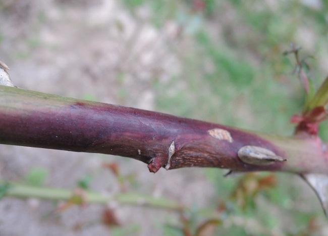 Инфекционный ожог роз