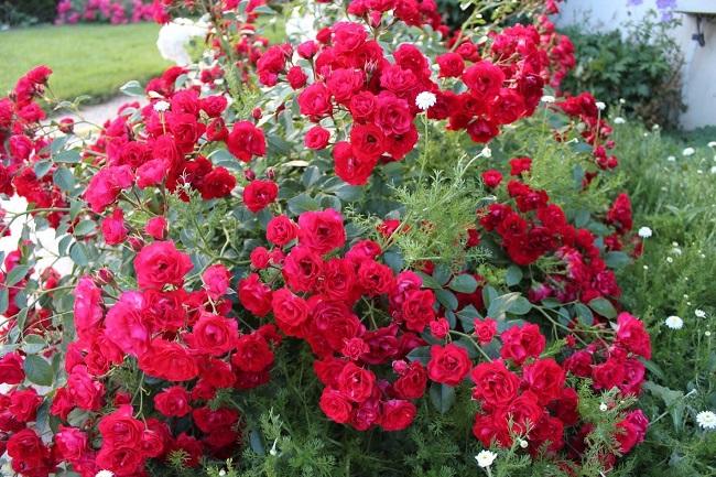 розы скарлет