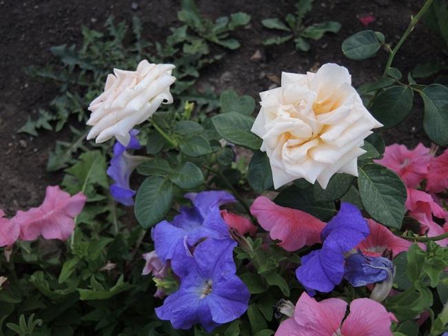 сочетание петунии и розы на одной клумбе