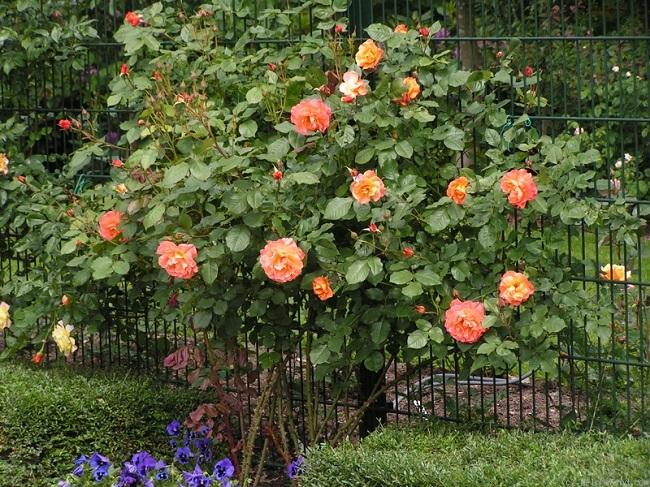 парковая роза вестерленд