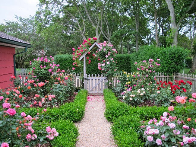 красивый розарий на даче
