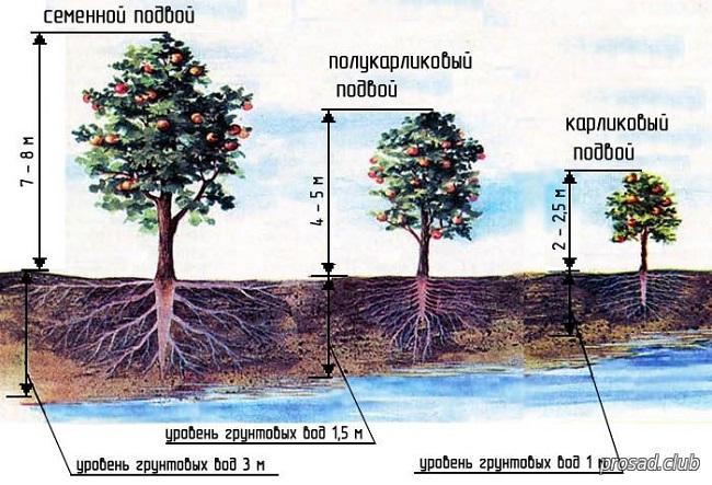 подвой фруктовых деревьев