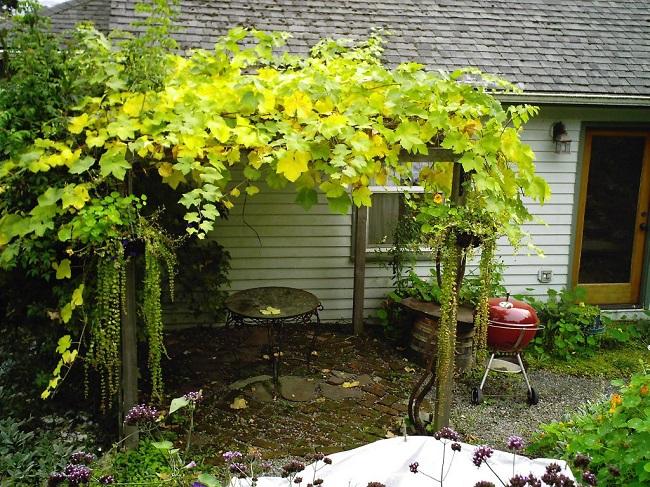 столовый виноград на перголе