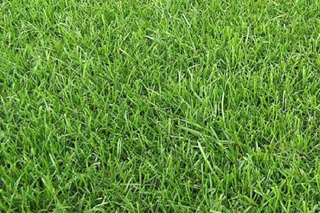 мятлик болотный для газона