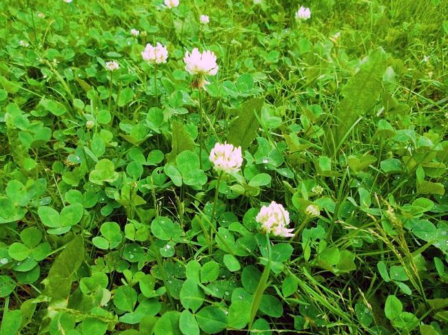 клевер ползучий (Trifolium repens L.)