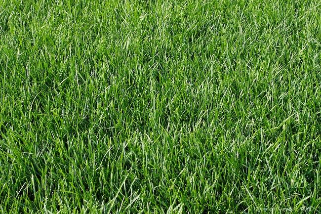 Газонная трава мятлик Луговой