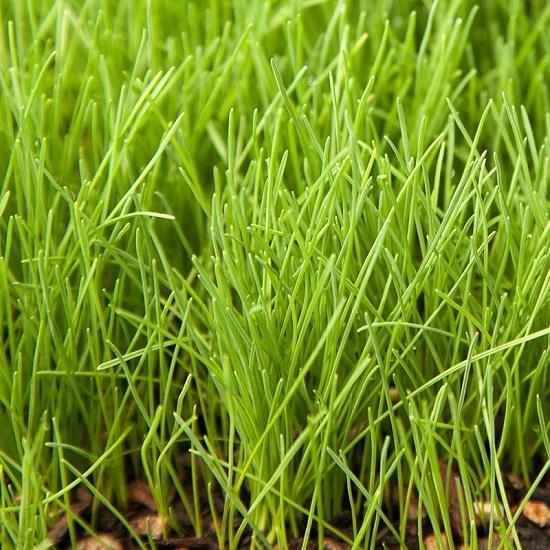 овсяница красная газон