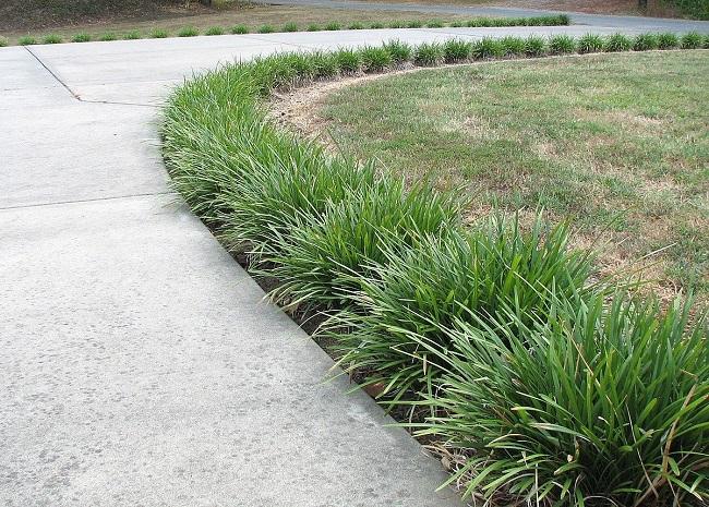 офиопогон бордюр из травы
