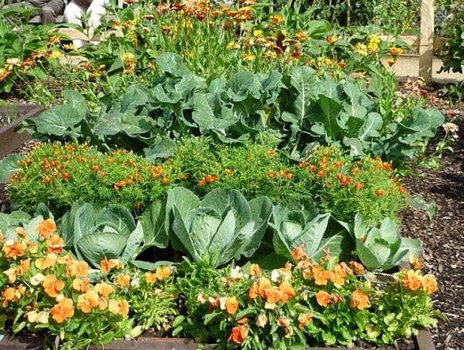 овощи с цветами на одной грядке