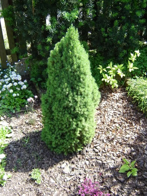 ель Picea glauca Laurin