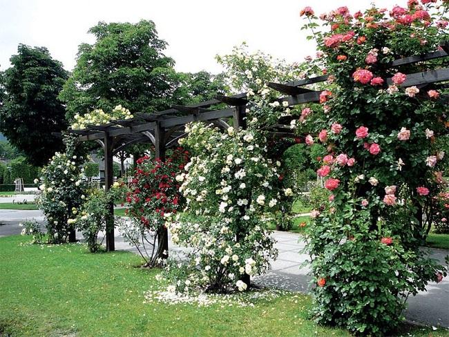 плетистая роза на перголе