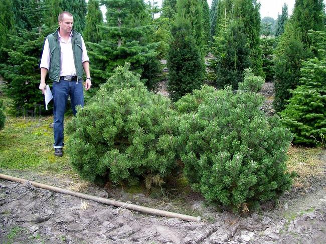 горная сосна Pinus mugo Gnom
