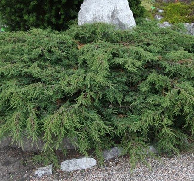 можжевельник обыкновенныйJuniperus communis Hornibrookii