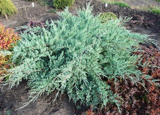 можжевельник Juniperus virginiana