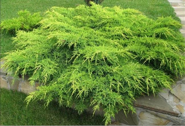 можжевельник Juniperus pfitzeriana Aurea