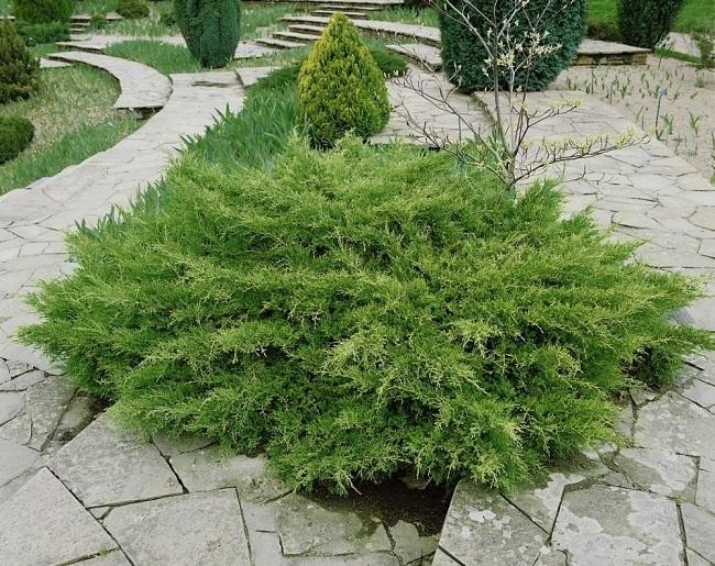 можжевельник Juniperus pfitzeriana