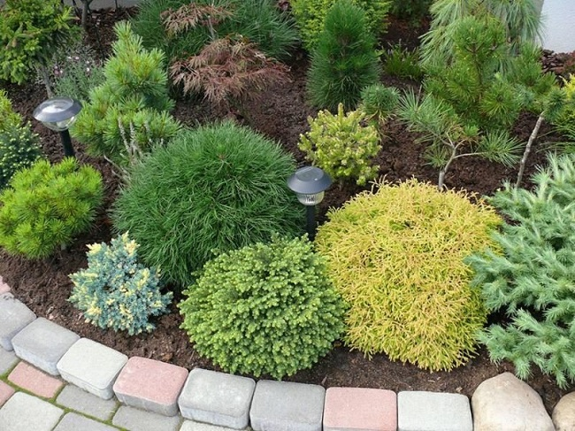карликовые виды хвойных растений