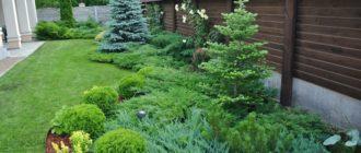 хвойные в саду для начинающих