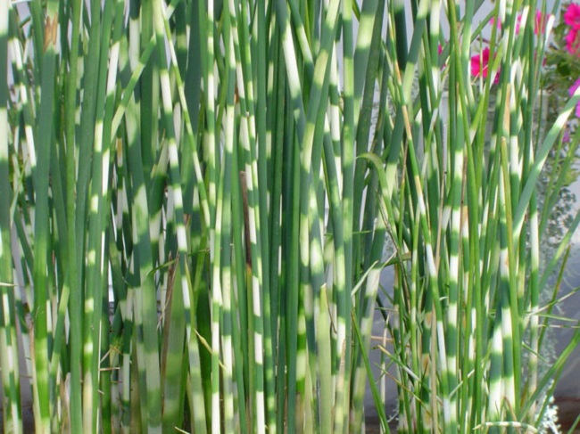 камыш озерный Zebrinus