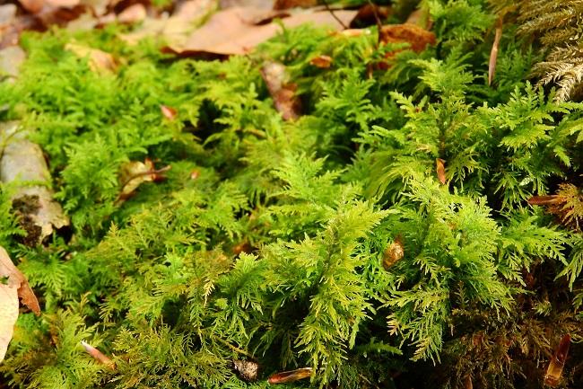 папоротниковый мох для сада