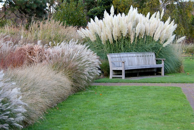 пампасная трава в парке