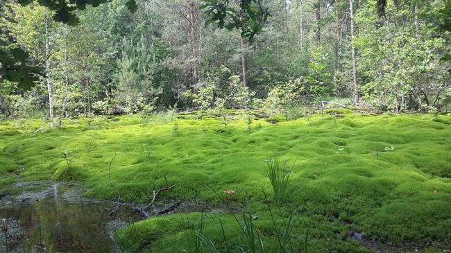 мох в болотистой местности