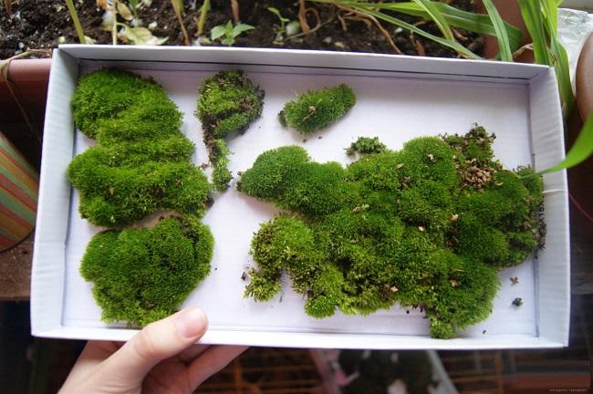 живой мох в коробке