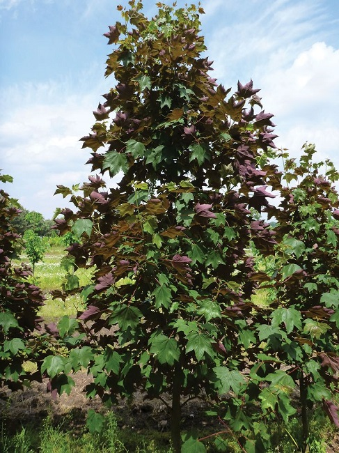 Клен ложноплатановый пурпурный на участке